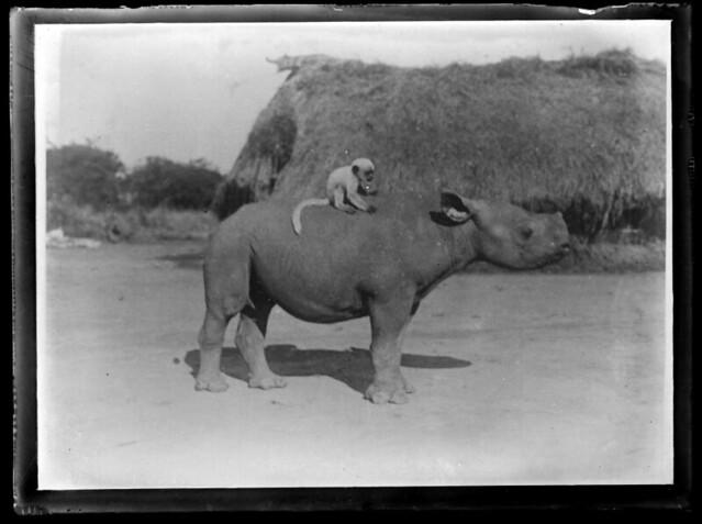 Sudan(?) Monkey riding a rhino