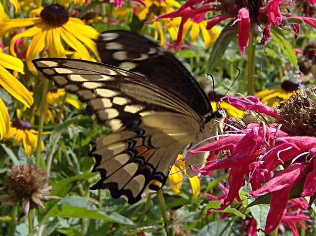 Giant Swallowtail on Monarda