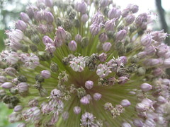 lilac(0.0), blossom(0.0), vegetable(0.0), produce(0.0), food(0.0), flower(1.0), plant(1.0), lilac(1.0), flora(1.0), chives(1.0),