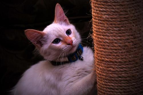blue white cat eyes scratchingpost nikond60