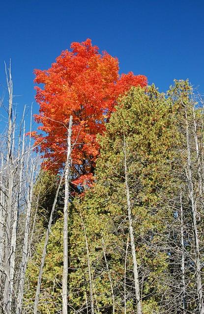 Exploding Maple Tree