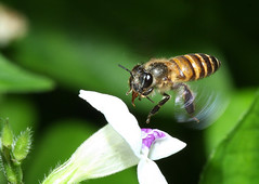 Bee at work