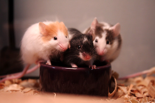 Three Hungry Mice