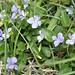 Hybrid violets, Viola canina x persicifolia (Maureen Ponting)