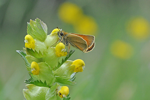Small Skipper butterfly on Yellow Rattle