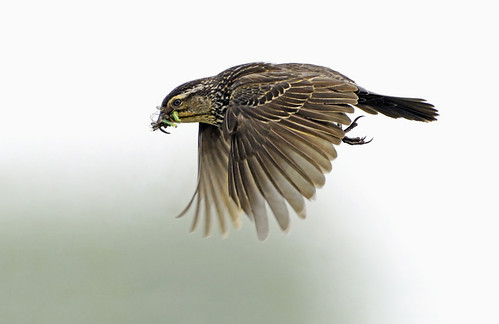 Female Red-winged Blackbird in Flight with Prey