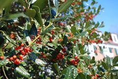 shrub(0.0), elaeagnus multiflora(0.0), acerola(0.0), flower(0.0), strawberry tree(0.0), produce(0.0), food(0.0), evergreen(1.0), berry(1.0), tree(1.0), plant(1.0), flora(1.0), chokecherry(1.0), fruit(1.0), aquifoliaceae(1.0), rowan(1.0), aquifoliales(1.0),