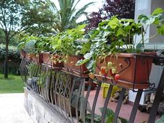 Coltivare le fragole sul balcone di tutto di pi for Vasi per fragole