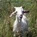 Goat Test 2008
