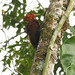 Chestnut-colored Woodpecker