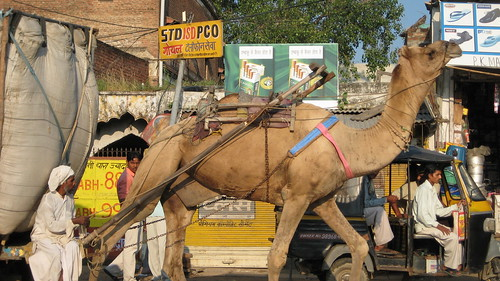 camel on the road to agra