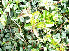 evergreen, shrub, leaf, tree, plant, arctostaphylos uva-ursi, flora,