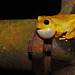 Lesser Treefrog - Photo (c) Adrián Afonso, some rights reserved (CC BY-NC-SA)