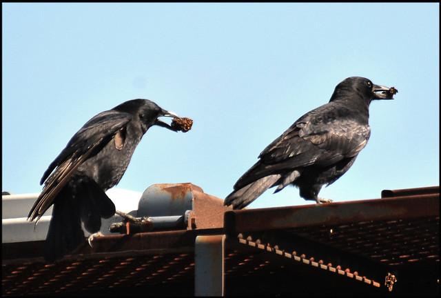 Kraai Crow A Gallery On Flickr