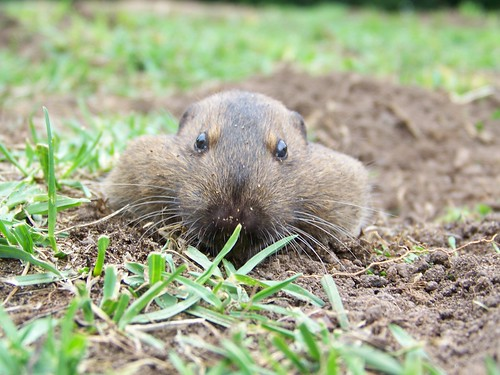 Gopher at ground level