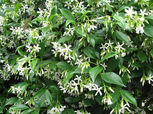 181_0069 star jasmine Trachelospermum jasminoides Trachelospermum Apocnaceae