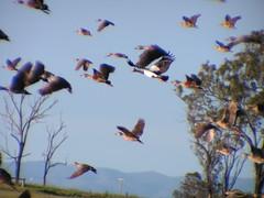 Dendrocygna eytoni (Plumed Whistling-Duck)