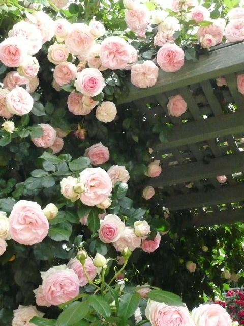 Rosa 39 pierre de ronsard 39 explore bloom and blossom 39 s for Pierre de ronsard rosa