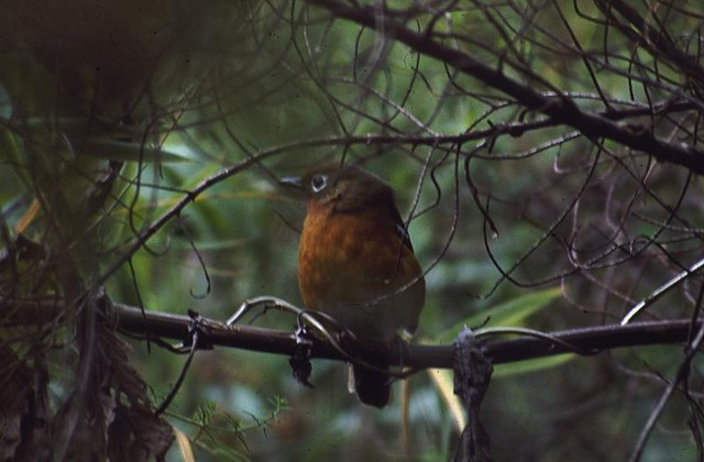 Header of Abyssinian Ground Thrush