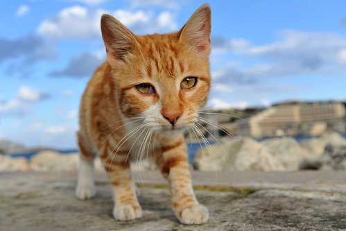 Malta cat: The Tiger