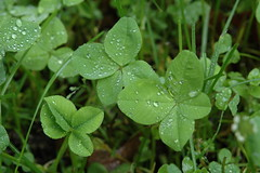 annual plant, clover, leaf, plant, herb, flora, green,