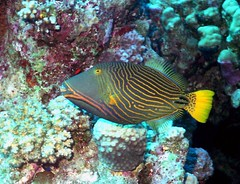pomacanthidae(0.0), coral reef(1.0), coral(1.0), fish(1.0), coral reef fish(1.0), organism(1.0), marine biology(1.0), stony coral(1.0), fauna(1.0), underwater(1.0), reef(1.0),