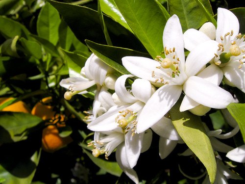 Image result for orange blossom