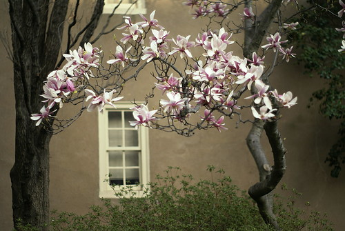 magnolias and window