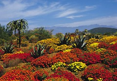 Worcester Karoo flowers - South Africa