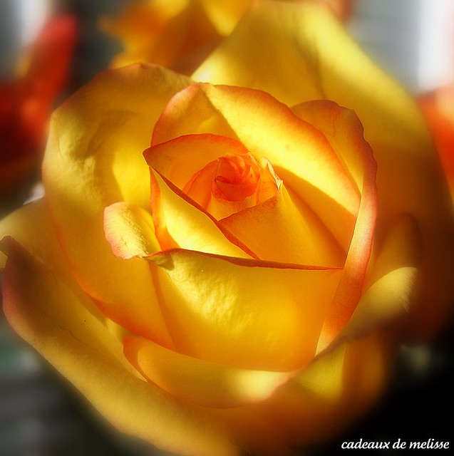 red tipped yellow rose