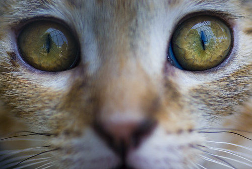 Eyes Of The Feline