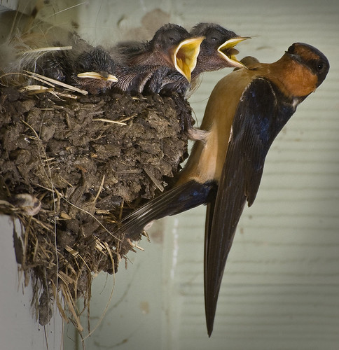 bird texas nest feeding tx swallow barnswallow hirundorustica fledglings hirundo hirundorusticaerythrogaster top20texas bestoftexas