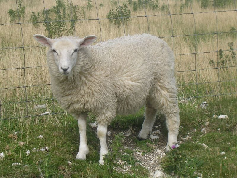 Sheep Lewes to Berwick via West Firle