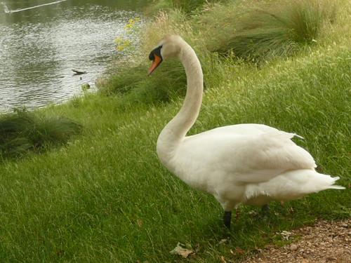 Swan In Richmond Park, London by john47kent