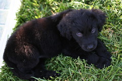 american black bear(0.0), newfoundland(0.0), patterdale terrier(0.0), dog breed(1.0), animal(1.0), puppy(1.0), dog(1.0), pet(1.0), flat-coated retriever(1.0), carnivoran(1.0),