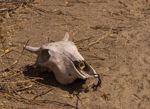 cow skull and desert - photo #2