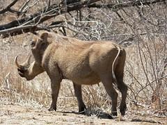 sheep(0.0), horn(0.0), barbary sheep(0.0), herd(0.0), animal(1.0), pig(1.0), fauna(1.0), pig-like mammal(1.0), warthog(1.0), safari(1.0), wildlife(1.0),