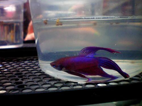 Betta fish flickr photo sharing for Walmart betta fish