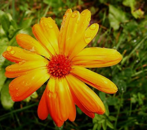 2008.09.14 - Calendula officinalis