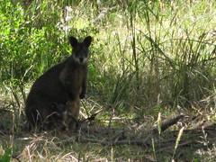 hare(0.0), rabbit(0.0), pet(0.0), rabits and hares(0.0), wallaby(1.0), animal(1.0), grass(1.0), marsupial(1.0), mammal(1.0), kangaroo(1.0), fauna(1.0), wildlife(1.0),