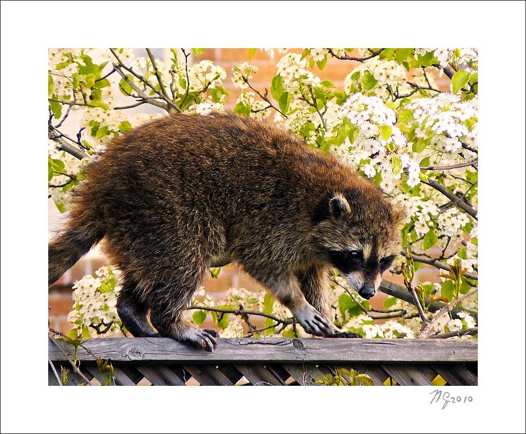 A Raccoon on my Fence - Un raton-laveur sur ma pallissade