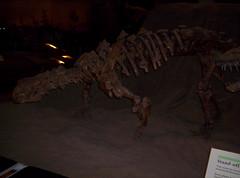 velociraptor, dinosaur,