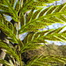 Giant Chain Fern - Photo (c) josh jackson, some rights reserved (CC BY-NC)