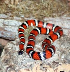 boas(0.0), boa constrictor(0.0), hognose snake(0.0), sidewinder(0.0), kingsnake(0.0), animal(1.0), serpent(1.0), snake(1.0), reptile(1.0), fauna(1.0), scaled reptile(1.0), colubridae(1.0), wildlife(1.0),