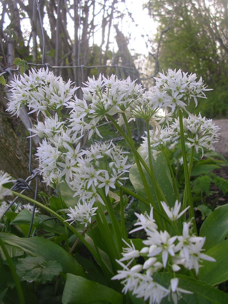 Ramsons - wild garlic Yalding to Sevenoaks