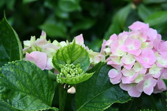 annual plant(1.0), flower(1.0), hydrangea serrata(1.0), plant(1.0), lilac(1.0), flora(1.0), floristry(1.0), hydrangeaceae(1.0), petal(1.0),