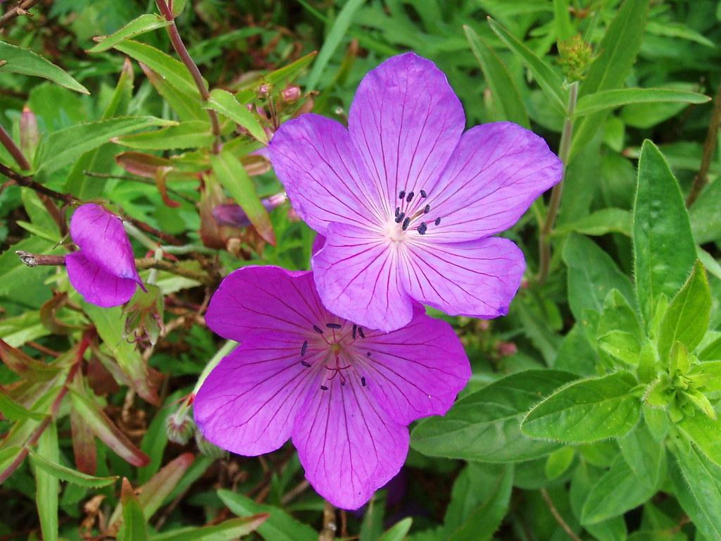 """Geranium clarkei """"Kashmir Purple"""""""