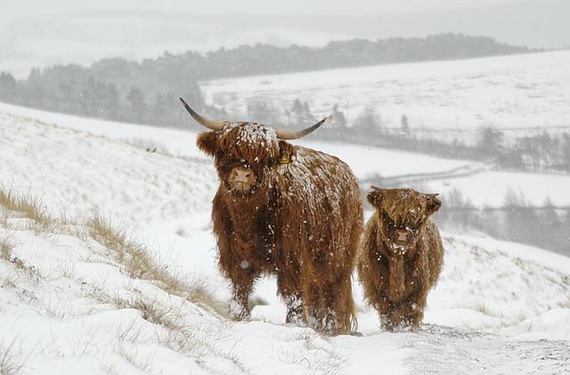 Highland cows snow | Flickr - Photo Sharing! - photo#34