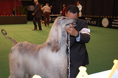 dog sports, animal sports, animal, dog, sports, pet, mammal, conformation show, afghan hound,