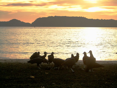 sunset costarica tortuga buitre pacífico